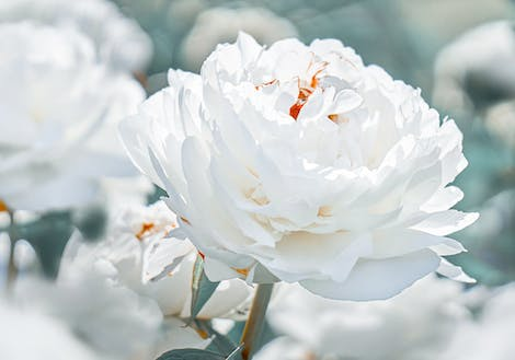 Close-up photograph of White Peonies