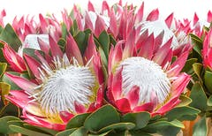 A half-dozen king protea, all blooming together