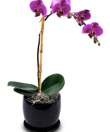Lavender Phalaenopsis Orchid in Boston, MA