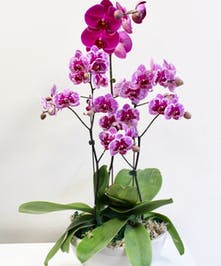 Varigated Phalaenopsis Orchids in Bowl in Boston, MA