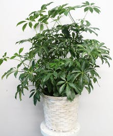Schefflera Plant in Boston, MA