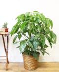 Amate Schefflera Plant