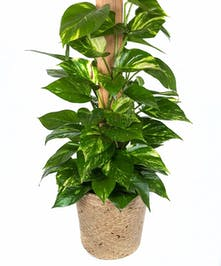 Pothos plant delivery in Boston, MA