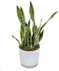 Snake Plant in Glass Pot