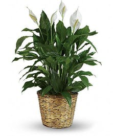 Also known as the Peace Lily