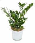 ZZ Plant in Glass Pot