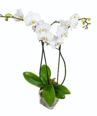 White Elegant Orchid