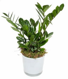 ZZ Plant in Glass Pot